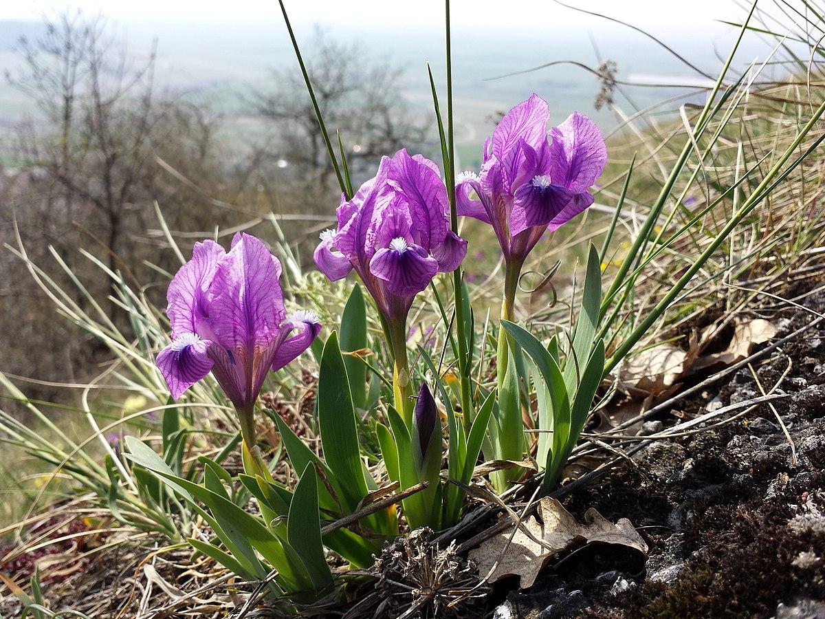 Iris Pumila Wikipedia