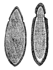 Orthonetida dict flat and cylinder.png