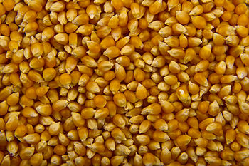 English: Unpopped corn kernels, prepared for p...
