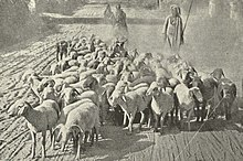 Shepherd's