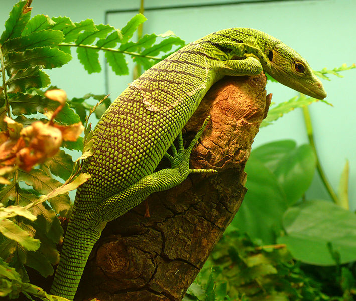 Image result for monitor lizard with fruit