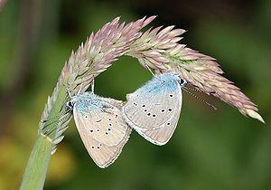 Gossamer-winged butterflies, Avene, Languedoc-...
