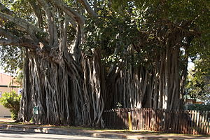 English: A Banyan tree claimed to be the oldes...