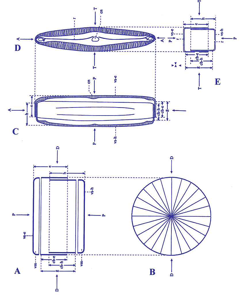hight resolution of file diatom biology jpg