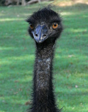 Emu (Dromaius novaehollandiae) at Lone Pine Ko...