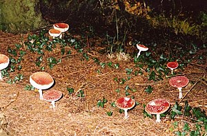 English: Fairy ring? A plentiful supply of fly...