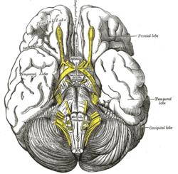 brain diagram pons life balance interpeduncular fossa - wikipedia