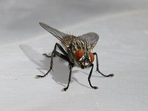 English: Housefly