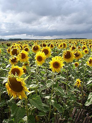 English: Rejoice! The smaller sunflowers show ...