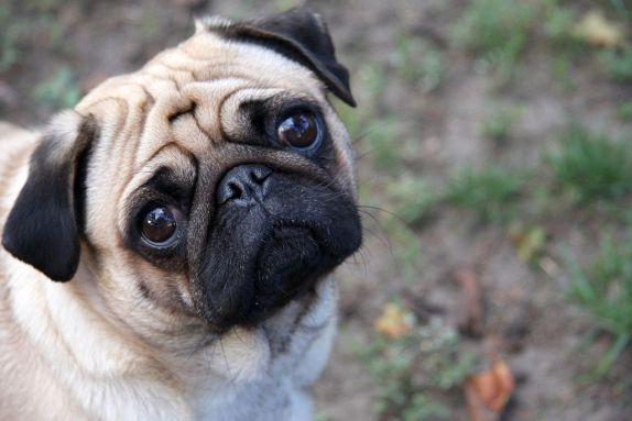 pug_dog_breeds_great_for_seniors_dogdojo