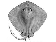 ray and skate diagram rc servo wiring fish wikipedia stingray