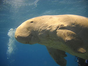 English: A Dugong near Marsa Alam (Egypt). Fra...
