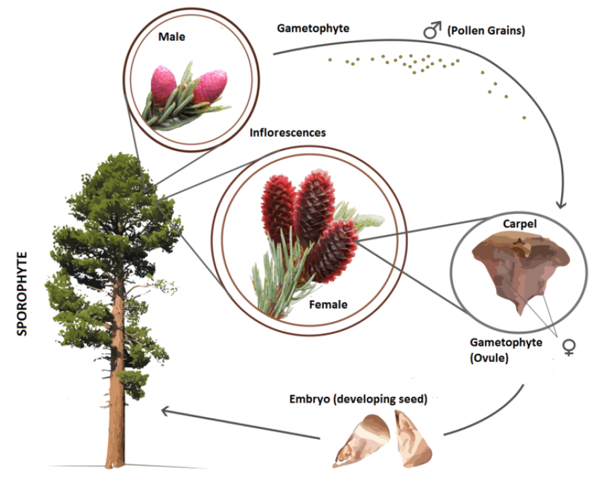 classification of gymnosperms,gymnosperms,Characters of Gymnosperms