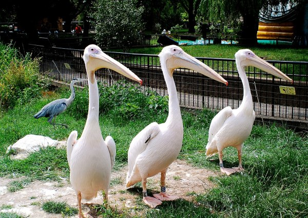 File Pelecanus Onocrotalus -london Zoo