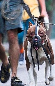 180px Pit bull restrained Pitbull Attacks Dog
