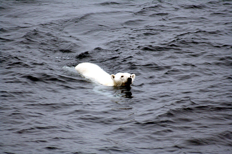 File:Polar bear arctic.JPG