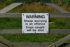 English: Sheep Worrying Just don't do it!