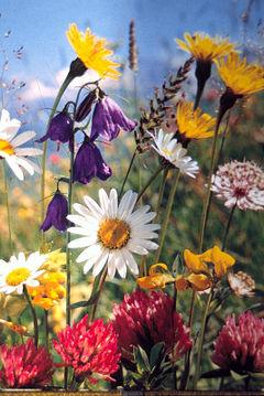 https://i0.wp.com/upload.wikimedia.org/wikipedia/commons/thumb/d/d8/Sommerblumen01.JPG/240px-Sommerblumen01.JPG