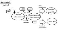 Structural Biochemistry/Anaerobic Respiration