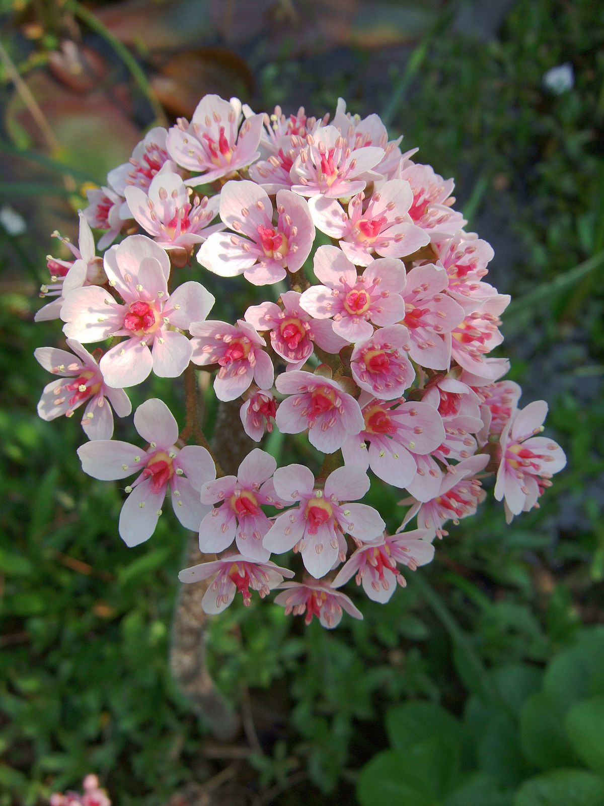 Plant Flowers Tall Pink