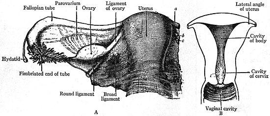 1911 Encyclopædia Britannica/Reproductive System