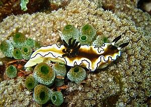 English: Glossodoris atromarginata at The Drop...
