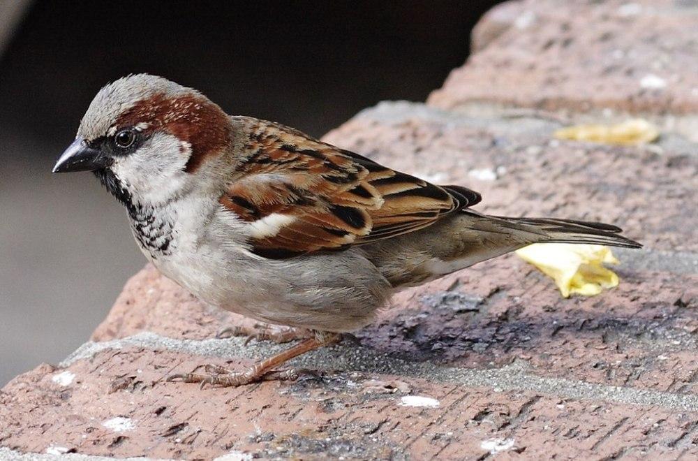 Les oiseaux les plus communs d'Europe seraient-ils en danger ?