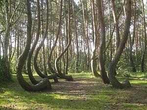 Nowe czarnowo-krzywy las