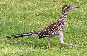 English: A Greater Roadrunner at the Visitor C...