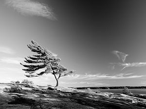 Pinus strobus, Killbear Provincial Park, Ontar...