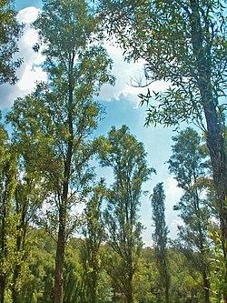 Salix bonplandiana  Wikipedia la enciclopedia libre