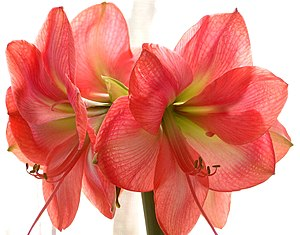 English: Amaryllis