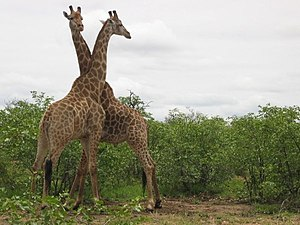 Two Giraffes fighting in the Kruger National P...