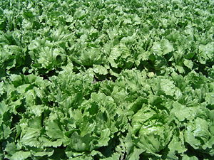 Close-up of an iceberg lettuce field in Northe...