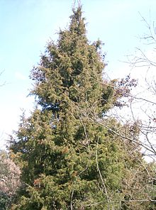 Juniperus rigida  Wikipedia