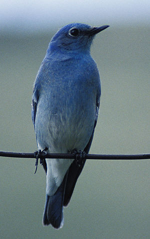 English: Mountain Bluebird (Sialia currucoides)