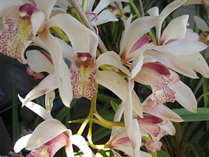 A shot of an (Cymbidium - cultivar) orchid