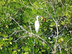 English: Little Egret (egretta garzetta) in Pi...