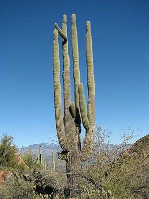 English: Saguaro (Carnegiea gigantea, Tonto Na...