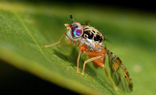 File Tephritidae Ceratitis Capitata Male Jpg Wikimedia