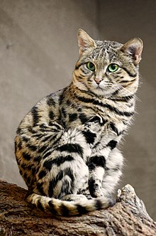 Blackfooted Cat  Wikipedia