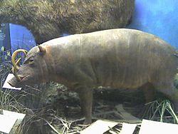 Spesimen Babirusa di Museum Sejarah Alam Field, Chicago