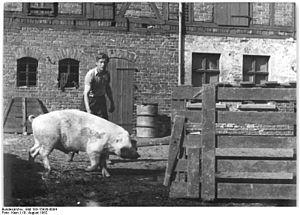Bundesarchiv Bild 183-15930-0004, Schweinemast...