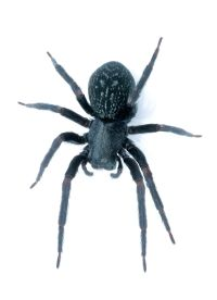 black house spider - Wiktionary