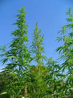 Cannabis sativa 001