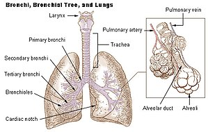 human heart and lungs diagram 2005 ford freestyle fuse lung wikipedia illu bronchi jpg
