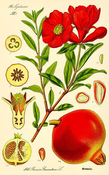 پرونده:Illustration Punica granatum2.jpg