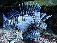 Feuerfische Wikipedia