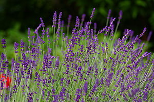 English: lavender