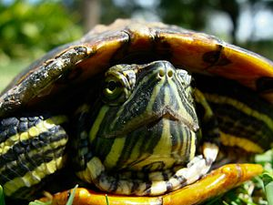 English: A facial view of a Red Eared Slider T...